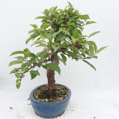 Outdoor bonsai -Malus Halliana - owocach jabłoni - 4