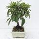 Outdoor bonsai -Malus Halliana - owocach jabłoni - 4/5
