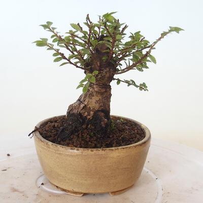 Bonsai zewnętrzne - Ulmus parvifolia SAIGEN - Wiąz drobnolistny - 4