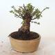 Bonsai zewnętrzne - Ulmus parvifolia SAIGEN - Wiąz drobnolistny - 4/6