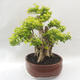 Bonsai do wnętrz - Duranta erecta Aurea - 4/6