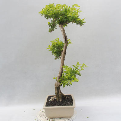 Bonsai do wnętrz - Duranta erecta Aurea - 4