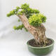 Bonsai do wnętrz - Duranta erecta Aurea - 4/5