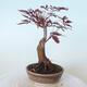 Bonsai zewnętrzne - palma Acer. Atropurpureum-Czerwony liść palmowy - 4/6