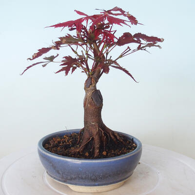Bonsai zewnętrzne - palma Acer. Atropurpureum-Czerwony liść palmowy - 4