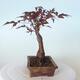 Bonsai zewnętrzne - palma Acer. Atropurpureum-Czerwony liść palmowy - 4/5