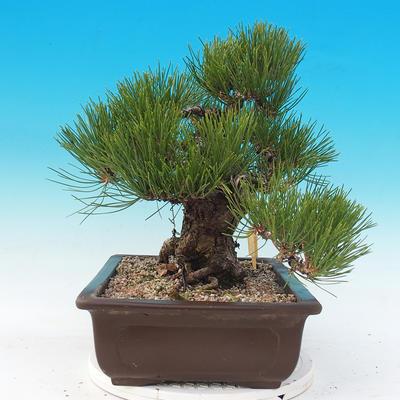 Outdoor bonsai - Pinus thunbergii - Sosna Thunbergova - 4