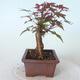 Bonsai outdoor - Maple palmatum DESHOJO - Maple palmate - 4/5