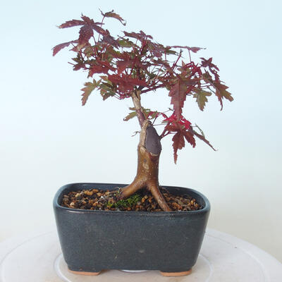 Bonsai outdoor - Maple palmatum DESHOJO - Maple palmate - 4