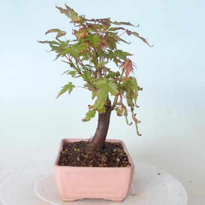 Bonsai na zewnątrz - Maple palmatum sangokaku - Liść palmy klonowej - 4