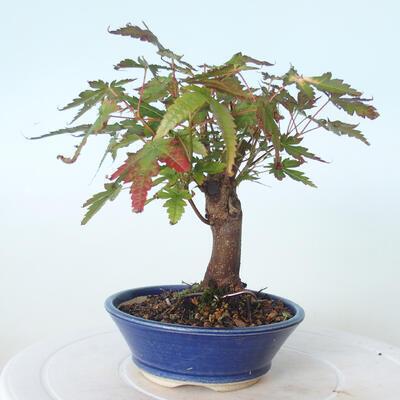 Outdoor bonsai - Maple palmatum sangokaku - Liść palmy klonowej - 4