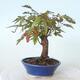 Outdoor bonsai - Maple palmatum sangokaku - Liść palmy klonowej - 4/5