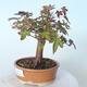 Bonsai na zewnątrz - Maple palmatum sangokaku - Liść palmy klonowej - 4/5