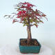 Bonsai outdoor - Maple palmatum DESHOJO - Maple palmate - 4/6