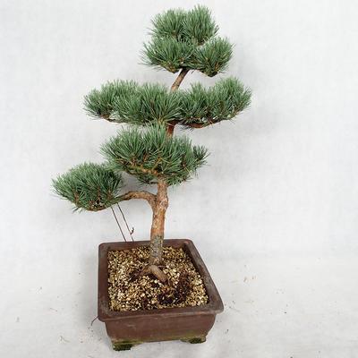 Outdoor bonsai - Pinus sylvestris Watereri - sosna zwyczajna VB2019-26852 - 4