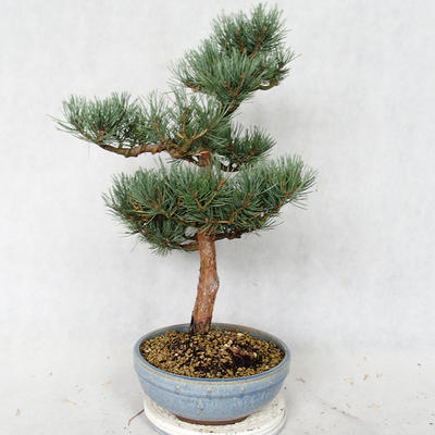 Outdoor bonsai - Pinus sylvestris Watereri - sosna zwyczajna VB2019-26859 - 4