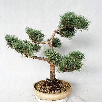Outdoor bonsai - Pinus sylvestris Watereri - sosna zwyczajna VB2019-26868 - 4