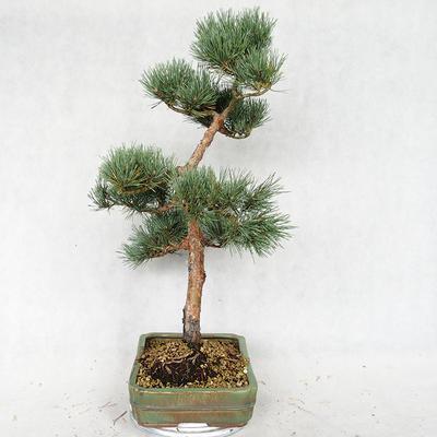 Outdoor bonsai - Pinus sylvestris Watereri - sosna zwyczajna VB2019-26877 - 4