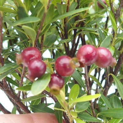 Kryty bonsai - Syzygium - Ziele angielskie - 4