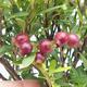 Kryty bonsai - Syzygium - Ziele angielskie - 4/4