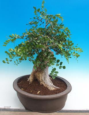 Pokój bonsai - Muraya paniculata - 4