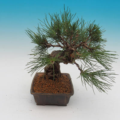 Pinus thunbergii - Sosna thunbergova - 4