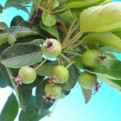 Outdoor bonsai - Malus Halliana - owocach jabłoni - 4