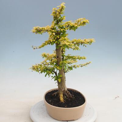 Kryty bonsai -Ligustrum Aurea - dziób ptaka - 4