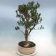 Kryty bonsai - Buxus harlandii - Bukszpan korkowy - 4/6