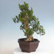 Kryty bonsai - Buxus harlandii - Bukszpan korkowy - 4/5