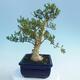 Kryty bonsai - Buxus harlandii - Bukszpan korkowy - 4/7