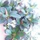 Bonsai zewnętrzne - Rhododendron sp. z o.o. - Różowa azalia - 4/4