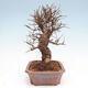 Outdoor bonsai - Zelkova - Zelkova NIRE - 4/5