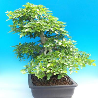 Na zewnątrz bonsai-Karpiny KARPINOWE - Koreański Grab - 4