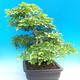 Na zewnątrz bonsai-Karpiny KARPINOWE - Koreański Grab - 4/5