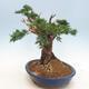 Outdoor bonsai - Juniperus chinensis - chiński jałowiec - 4/6