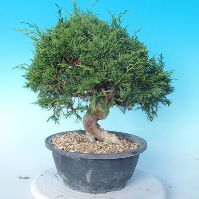 Odkryty bonsai - Juniperus chinensis ITOIGAWA - chiński jałowiec - 4