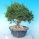 Odkryty bonsai - Juniperus chinensis ITOIGAWA - chiński jałowiec - 4/6