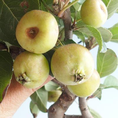 Outdoor bonsai - Malus halliana - jabłoń o małych owocach - 4