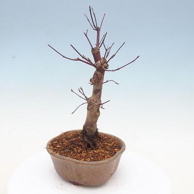 Outdoor bonsai - Klon palmatum DESHOJO - Klon japoński - 4