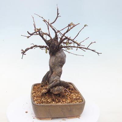 Outdoor bonsai - Pseudocydonia sinensis - Pigwa chińska - 4