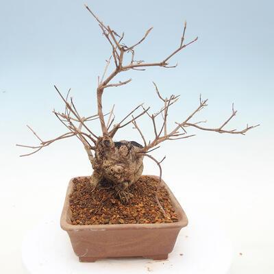 Outdoor bonsai - piękny Callicarpa - 4