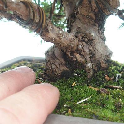 Outdoor bonsai - Juniperus chinensis Itoigawa-chiński jałowiec - 4