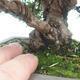 Outdoor bonsai - Juniperus chinensis Itoigawa-chiński jałowiec - 4/6
