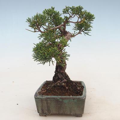 Outdoor bonsai - Juniperus chinensis - chiński jałowiec - 4