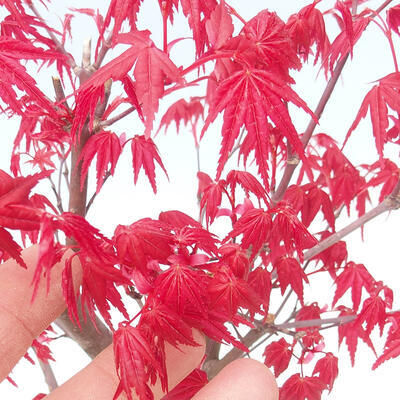 Outdoor bonsai - Maple palmatum DESHOJO - Klon palmowy - 4