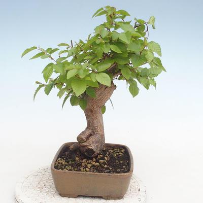 Outdoor bonsai -Carpinus CARPINOIDES - Koreański Grab - 4