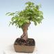 Outdoor bonsai -Carpinus CARPINOIDES - Koreański Grab - 4/5