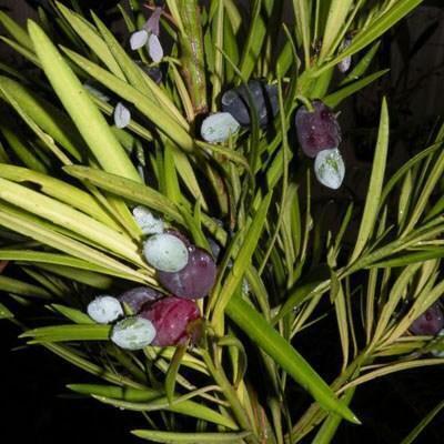 Kryty bonsai - Podocarpus - Kamienny tys - 4