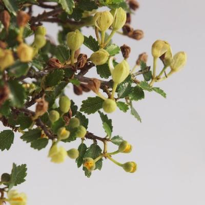 Kryte bonsai - Ulmus parvifolia - Mały wiąz - 4